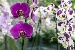 Różowa orchidea r w tropikalnej szklarni dekoracyjni kwiaty Obrazy Royalty Free