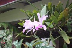 Różowa orchidea w Karaiby Fotografia Royalty Free