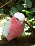 Różowa papuga fotografia royalty free
