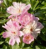 Różowa peonia Obrazy Stock