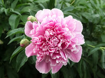 Różowa peonia Fotografia Royalty Free