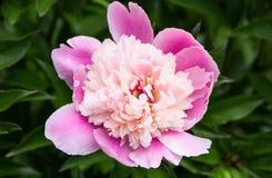 Różowa peonia Zdjęcia Stock
