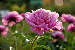 Różowa peonia Fotografia Stock