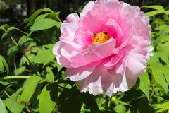 Różowa peonia Obraz Royalty Free