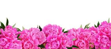 Różowa peonia kwiatów granica Fotografia Royalty Free