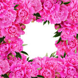 Różowa peonia kwiatów rama Obraz Stock