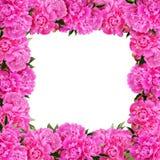 Różowa peonia kwiatów rama Obrazy Stock