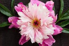 Różowa peonia na czarnym drewnianym stole Fotografia Royalty Free