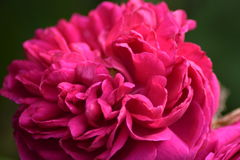 Różowa peonia na zielonym tle Zdjęcia Royalty Free