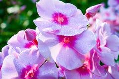 Różowa petunia z rosa kroplami Obrazy Stock