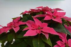 różowa poinsecja fotografia stock