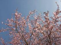 Różowa Sakura kwiatu wiosna Zdjęcia Royalty Free