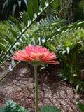 Różowa stokrotka Zdjęcie Stock