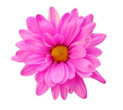 Różowa stokrotka Fotografia Stock