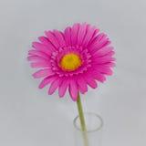 Różowa stokrotka Zdjęcie Royalty Free