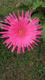 Różowa stokrotka Obrazy Royalty Free