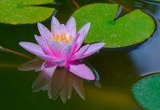 różowa woda lilii Zdjęcia Stock