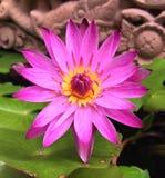 różowa woda lilii Fotografia Stock