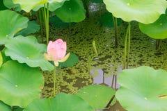 różowa woda lilii Obraz Royalty Free