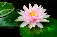 Różowa wodna leluja obrazy royalty free