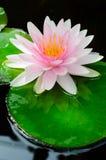 Różowa wodna leluja Zdjęcie Royalty Free