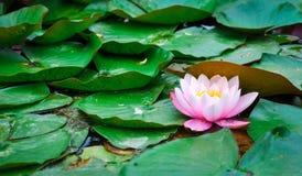 Różowa Wodna leluja Zdjęcie Stock