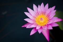 Różowa Wodna leluja lub lotos Obrazy Royalty Free