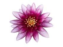 Różowa wodna leluja, odgórny widok Obrazy Royalty Free