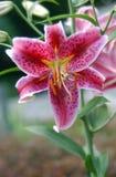 różowe 7 lilly fotografia stock
