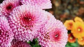 Różowe chryzantemy Zdjęcia Royalty Free