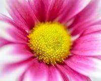 Różowe chryzantemy zdjęcie royalty free