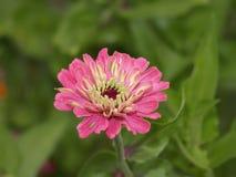 różowe cynie obraz stock