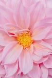 Różowe dalie Fotografia Royalty Free