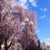 różowe drzewo Obraz Royalty Free