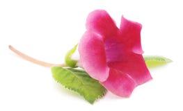 Różowe gloksynie Zdjęcie Stock