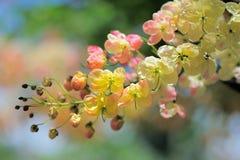 Różowe kasje Obraz Royalty Free