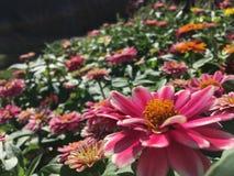 różowe kwiat cynie obraz stock