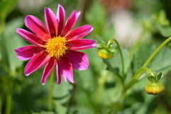różowe kwiat cynie Zdjęcia Stock