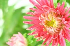 różowe kwiaty aster Zdjęcie Stock