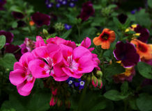 różowe kwiaty kwiatów Obraz Royalty Free