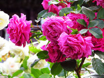 różowe kwiaty kwiatów Obrazy Stock