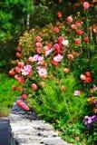 różowe kwiaty ogrodzenie czerwony Fotografia Stock