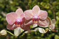 Różowe orchidee. Obrazy Royalty Free