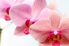 Różowe orchidee Obraz Royalty Free