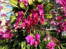 Różowe orchidee Zdjęcia Stock