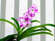 Różowe orchidee Zdjęcia Royalty Free