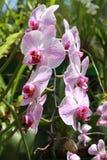 Różowe orchidee Fotografia Stock