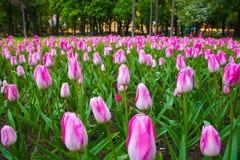 różowe parku tulipany Ogrodowi dekoracyjni kwiaty Fotografia Royalty Free