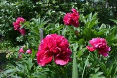Różowe peonie obrazy stock