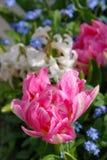 Różowe peonie buczy po deszczu Zdjęcie Stock